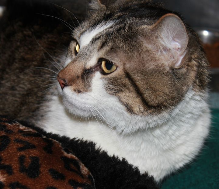 JOSEPH, an adopted Domestic Short Hair in Sewell, NJ