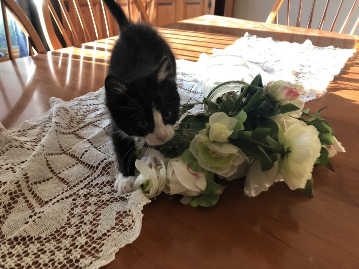 Margot, an adopted Tuxedo in Garfield Heights, OH