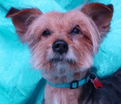 Dog for adoption - Bravo Clark, a Yorkshire Terrier & Jack