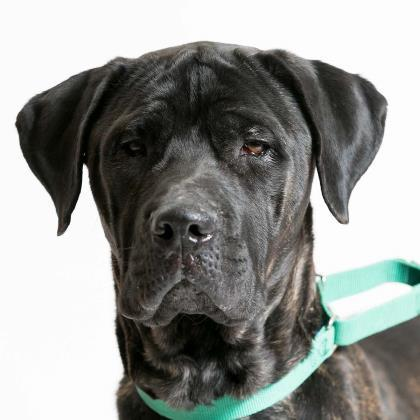 Dog For Adoption Bruce A Cane Corso Mix In Milwaukee Wi Petfinder
