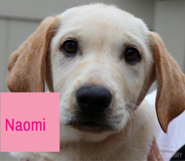 Naomi, an adopted Labrador Retriever Mix in Feasterville, PA