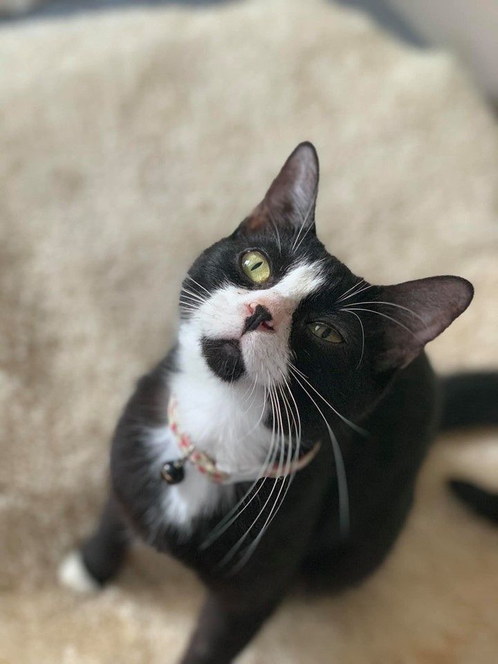 TJ, an adoptable Tuxedo in Manhattan, KS
