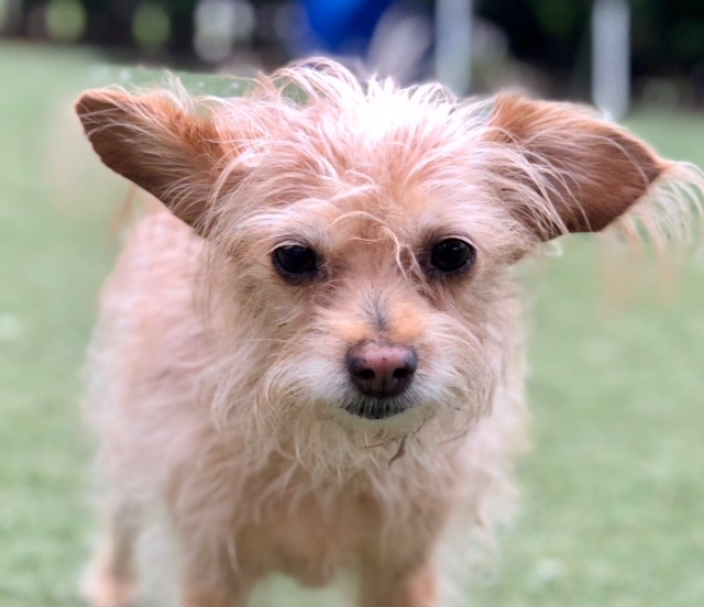 Carl, an adopted Terrier & Poodle Mix in Beverly Hills, CA