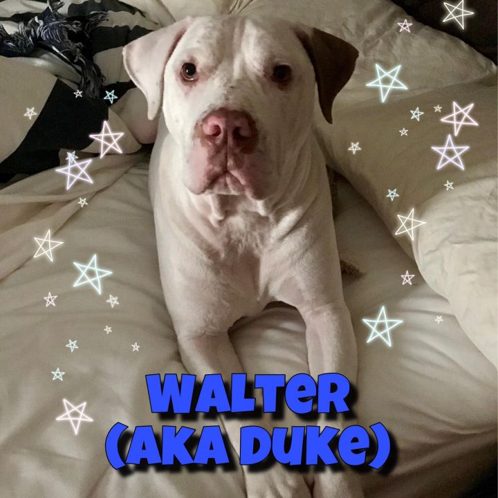 Walter, an adoptable American Staffordshire Terrier Mix in Lincoln Park, NJ