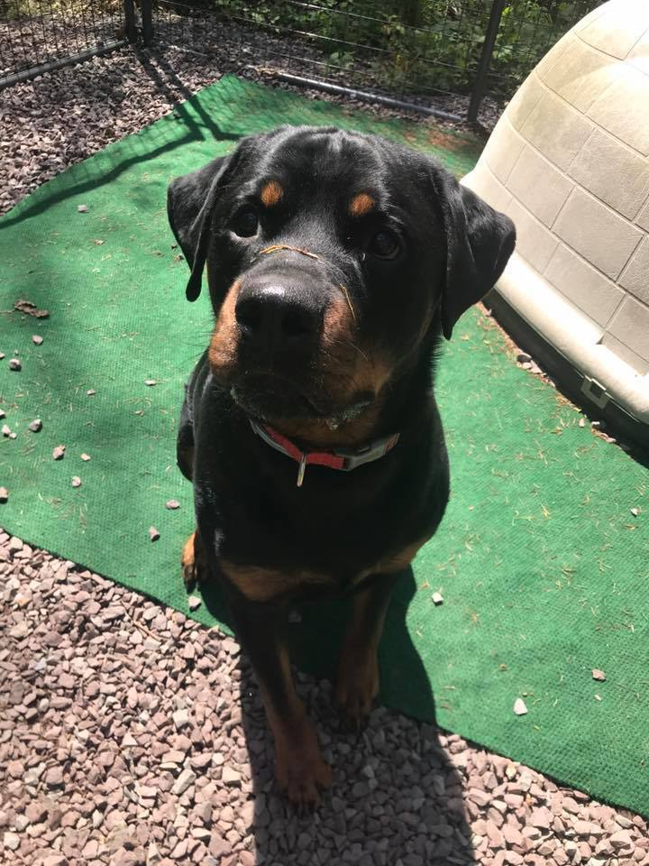 Chomp, an adoptable Rottweiler in Dallas, PA