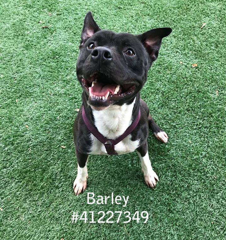 Barley, an adoptable Pit Bull Terrier Mix in Wilkes Barre, PA
