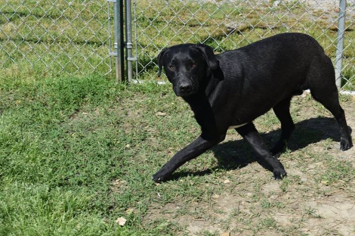 Scardy/Arlo/Ace, an adopted Labrador Retriever Mix in Henrietta, NY