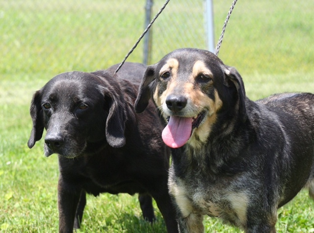 Crissy & Molly, an adoptable Cattle Dog & Labrador Retriever Mix in Winchester, KY