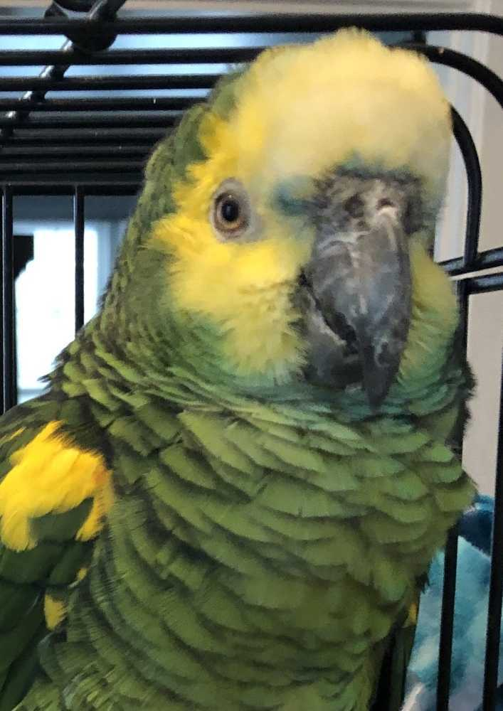Parrot for adoption - Herbie - Blue Front, an Amazon in