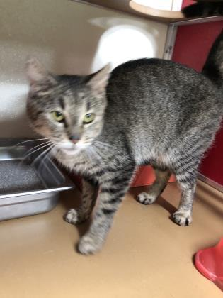 ELLEN, an adoptable Domestic Short Hair in Clarks Summit, PA