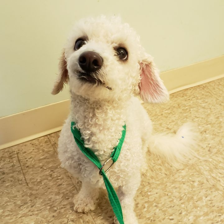 Kate, an adopted Miniature Poodle in Bloomington, IL