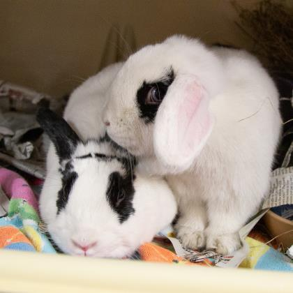 Lulu & Gibson, an adopted Rex & Holland Lop Mix in Fitchburg, WI