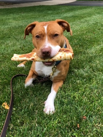 Allie, an adoptable Pit Bull Terrier & American Staffordshire Terrier Mix in Plainfield, IL