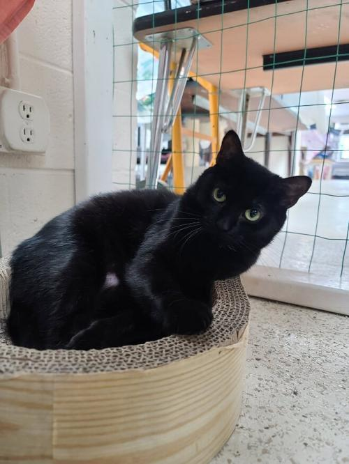 Millie, an adoptable Domestic Short Hair & American Shorthair Mix in Monroe, MI