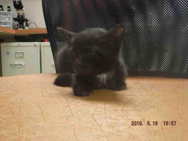 Cat for adoption - LUNA, a Domestic Short Hair in Miami, FL
