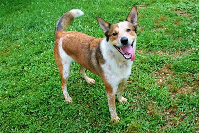 Dog for adoption - SAMMY, a German Shepherd Dog & Border Collie Mix