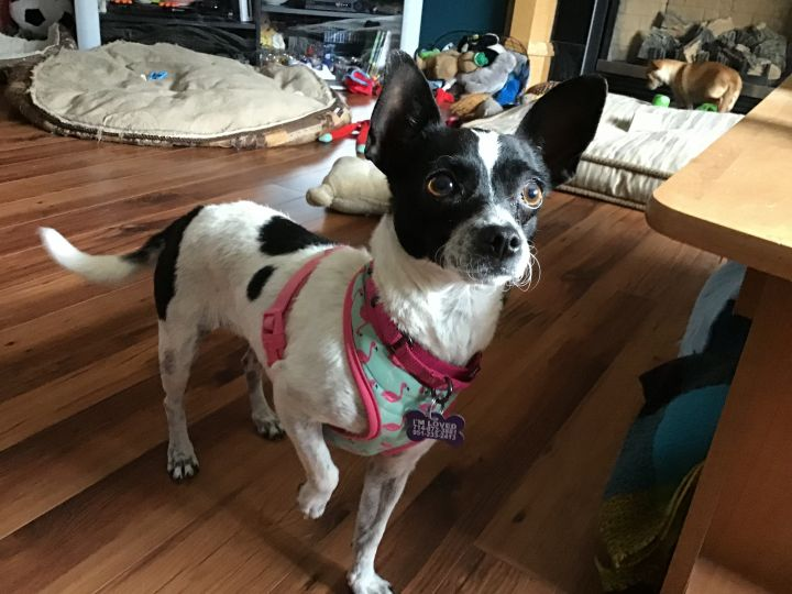 Daisy, an adopted Chihuahua & Rat Terrier Mix in Calgary, AB
