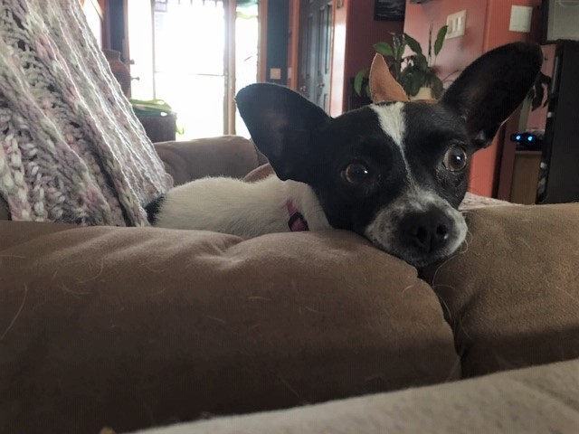 Daisy, an adoptable Chihuahua & Rat Terrier Mix in Calgary, AB
