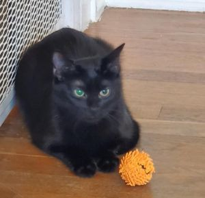 Lonnie Domestic Medium Hair Cat