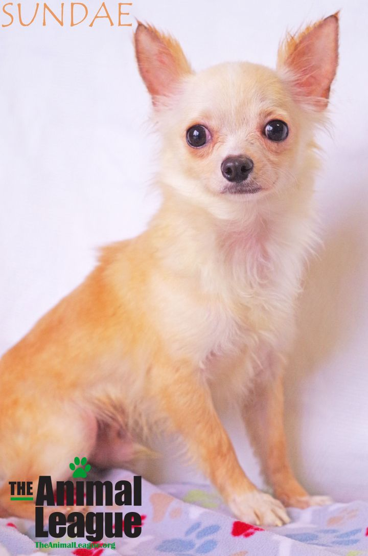 Sundae, an adoptable Chihuahua in Clermont, FL