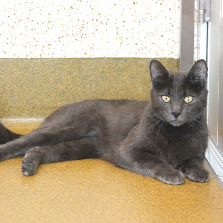 Venom, an adoptable Domestic Medium Hair Mix in Clovis, CA