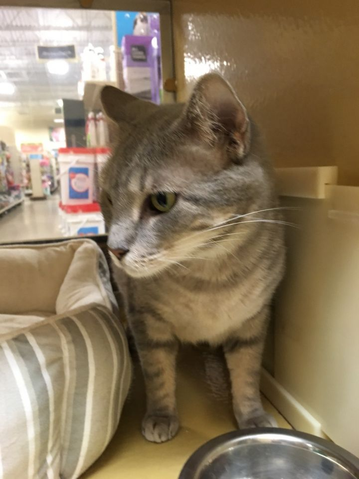 Cat for adoption - Racetrac, a Domestic Short Hair Mix in