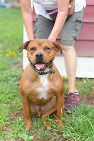 Dog for adoption - Jake, a Mastiff & Pit Bull Terrier Mix in