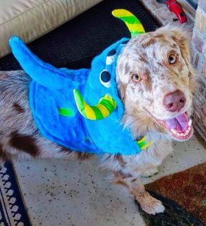 Dog for adoption - ARPH #14019 - Shiloh, an Australian Shepherd in