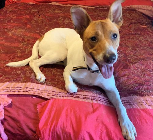 Zoey, an adopted Jack Russell Terrier Mix in Toronto, ON