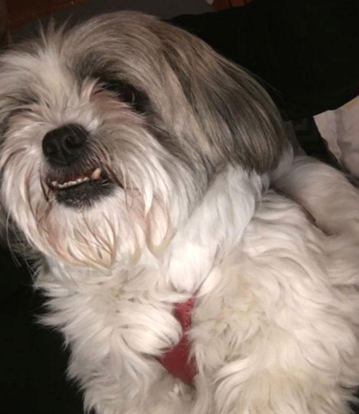 Dog for adoption - Lily, a Shih Tzu in Champaign, IL | Petfinder