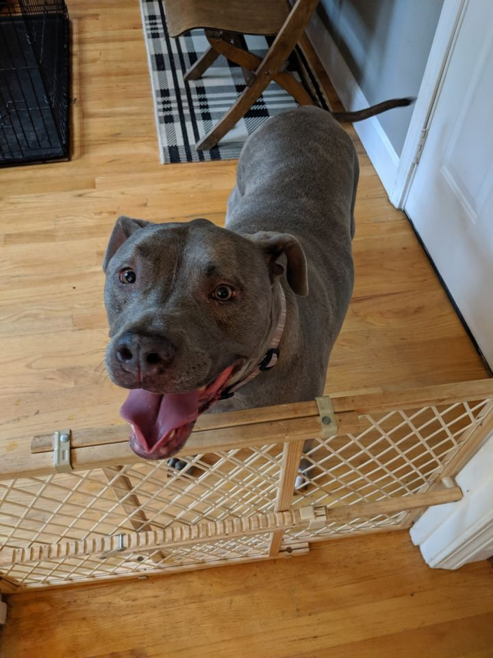 Katie, an adopted Pit Bull Terrier in Lexington, KY