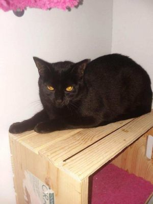 Cat for adoption - Tommy, a Domestic Short Hair Mix in