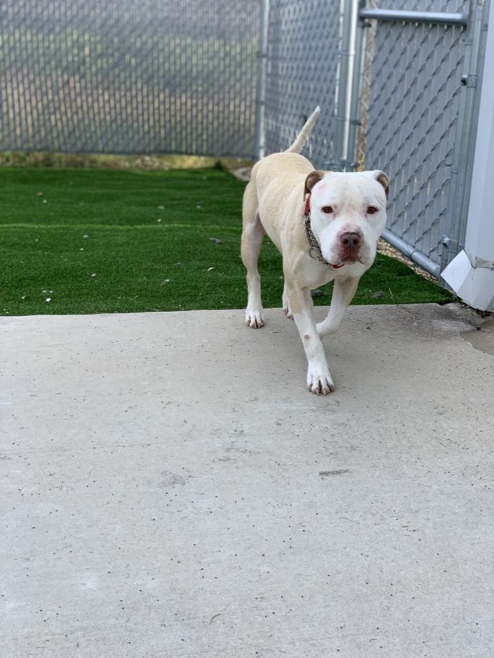 Bobby, an adoptable Pit Bull Terrier Mix in Eagle, ID