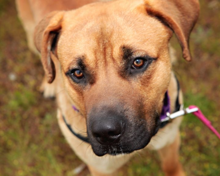 Kubo, an adopted Shepherd & Black Mouth Cur Mix in Bellingham, WA