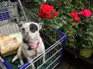 My name is Shirley Im about about 3  12 years old and Im a MixBull Terrier Dont let my