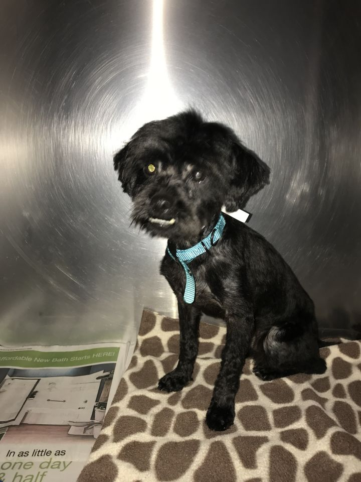 Mario, an adopted Poodle Mix in Spencer, IN