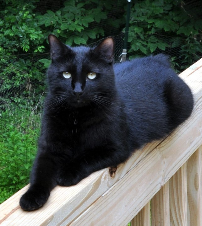 Batman, an adoptable Manx & American Bobtail Mix in Liberty, NC