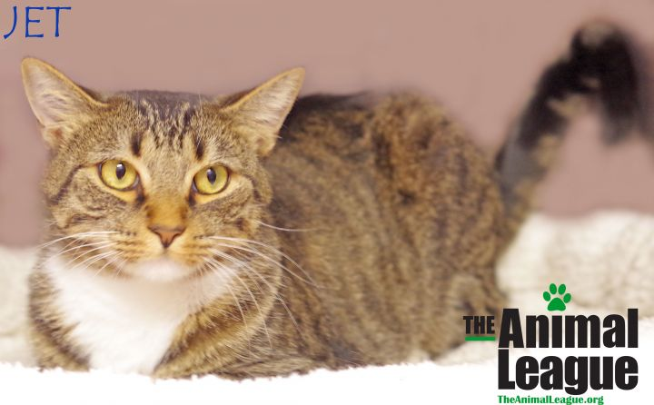Jet, an adoptable Domestic Short Hair Mix in Clermont, FL
