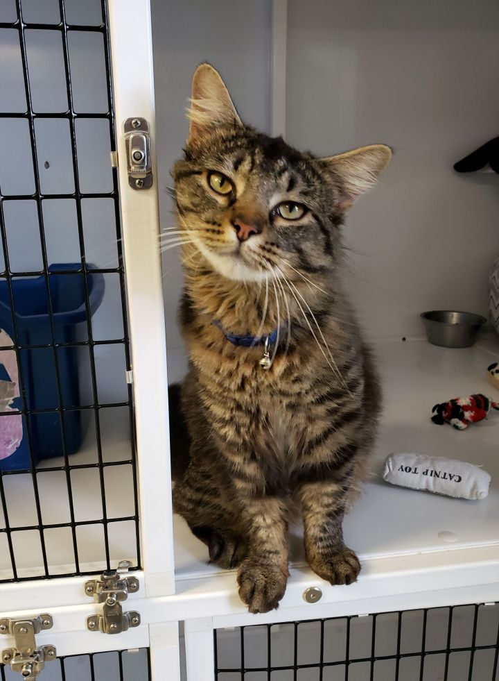 Henry, an adopted Domestic Medium Hair in Eglin AFB, FL
