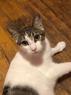 Captain America, an adoptable Domestic Short Hair in Oak Forest, IL