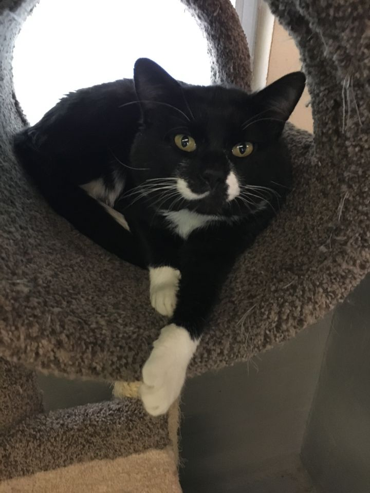 Buster (FIV+), an adoptable Tuxedo in Mendham, NJ