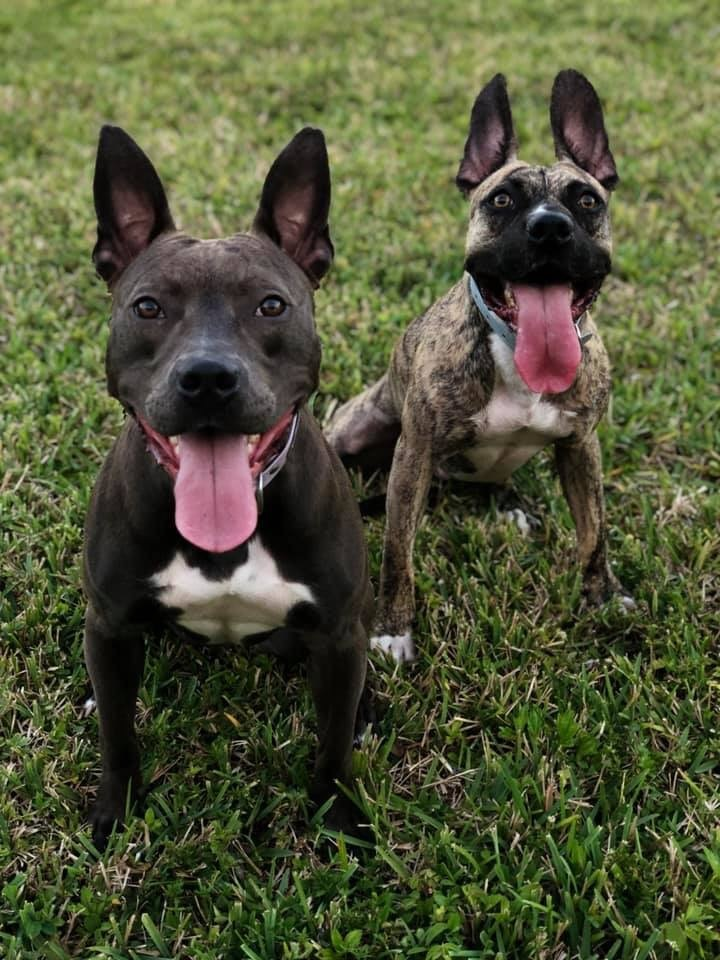 Fiona, an adoptable Pit Bull Terrier Mix in Loxahatchee, FL