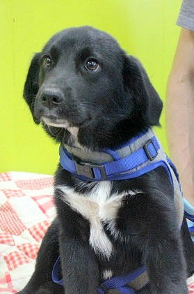 Lucky Lenny, an adopted Labrador Retriever & Border Collie Mix in Reston, VA
