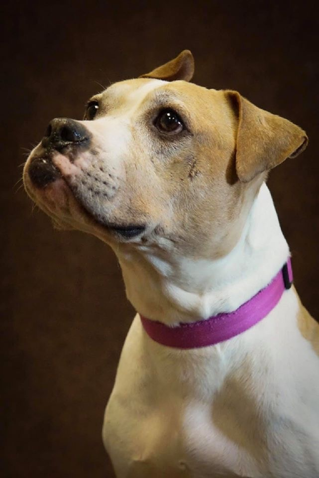 Soccer, an adoptable Pit Bull Terrier Mix in Appleton, WI
