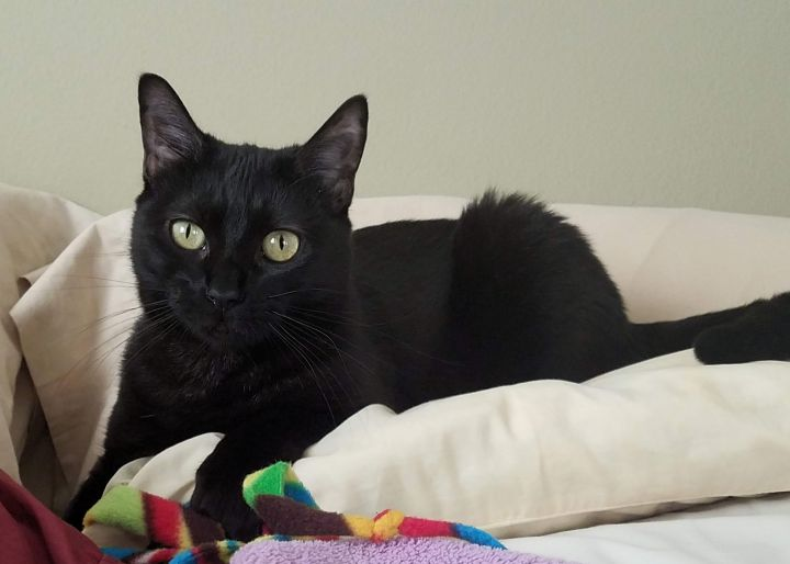 Kat, an adoptable Domestic Short Hair in Carencro, LA
