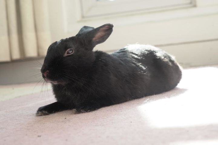 Bibi, an adoptable Bunny Rabbit in New York, NY