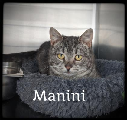 manini, an adoptable Domestic Short Hair in Prineville, OR