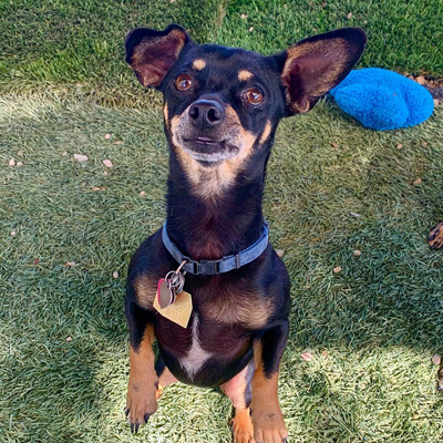 Taco, an adoptable Chihuahua Mix in Santa Paula, CA