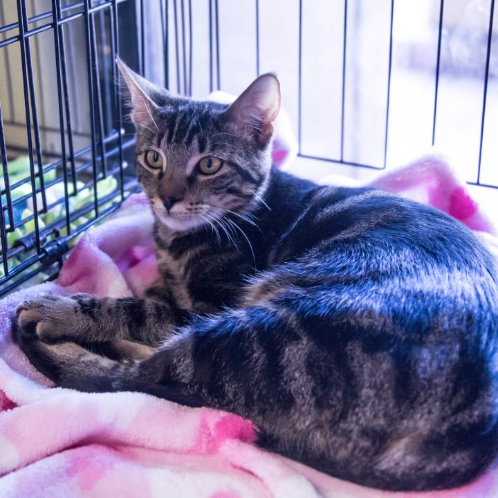 Frey, an adopted Tabby & American Shorthair Mix in Mission Viejo, CA