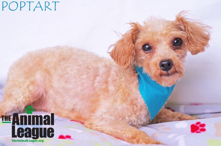 Poptart, an adoptable Miniature Poodle in Clermont, FL